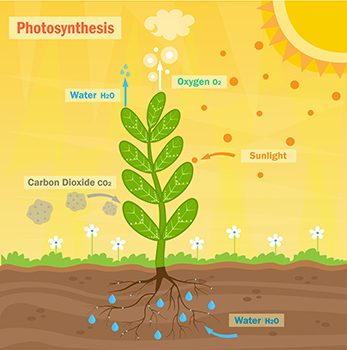 byproduct of photosynethesis Fortunately for all animals, including humans and fish, oxygen is a by-product of  this process as long as photosynthesis is occurring, oxygen is continuously.